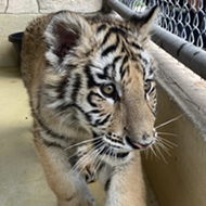San Antonio Zoo takes custody of confiscated tiger cub and bobcat