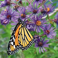 Free festival celebrates monarch butterfly and other pollinators at Confluence Park Saturday