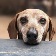 San Antonio dachshund rescue awarded $3,000 grant via Freshpet'sFresh Start program