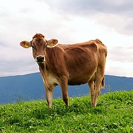 Loose Cow Charges at Temple Police Officer