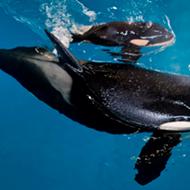 SeaWorld's Last Orca Whale Born in San Antonio