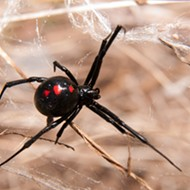 Make Sure a Black Widow Isn't in Your Christmas Tree from H-E-B