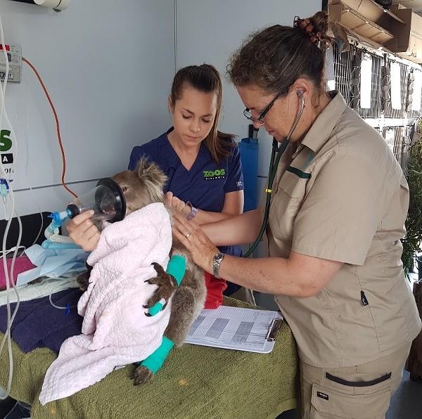 Zoos Victoria staff aid an injured koala - TWITTER / ZOOSVICTORIA