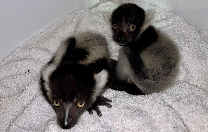 The zoo's twin black-and-white ruffed lemurs. - COURTESY OF SAN ANTONIO ZOO