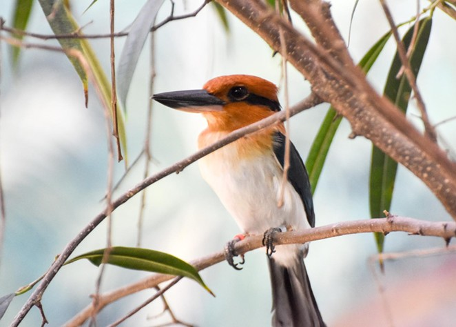 The Micronesian kingfisher is extinct in the wild. - COURTESY OF SAN ANTONIO ZOO