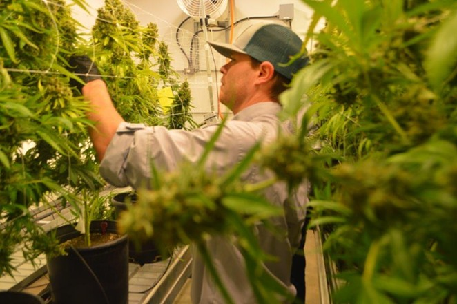 A TOCC worker harvests buds from marijuana plants. - COURTESY PHOTO / TEXAS ORIGINAL COMPASSIONATE CULTIVATION