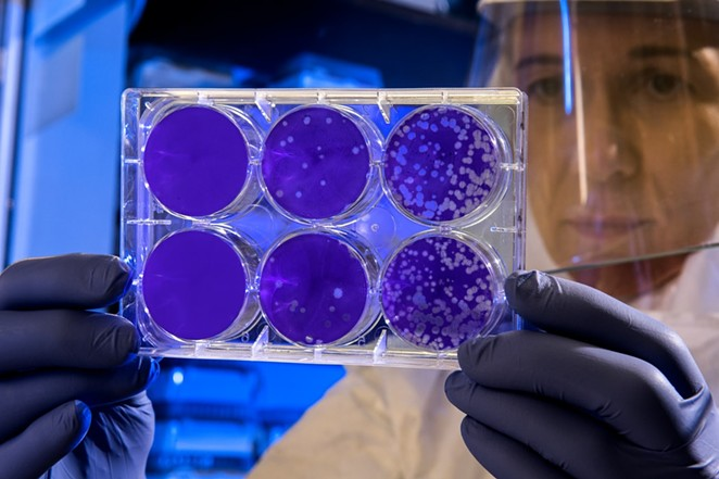 A scientist examines the result of a plaque assay, which is a test that allows scientists to count how many flu virus particles are in a mixture. - CENTERS FOR DISEASE CONTROL