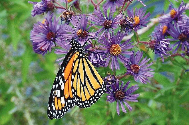 Monarch are an ambassador for all insects, showing the need to improve and restore pollinator habitat. - U.S. FISH AND WILDLIFE SERVICE