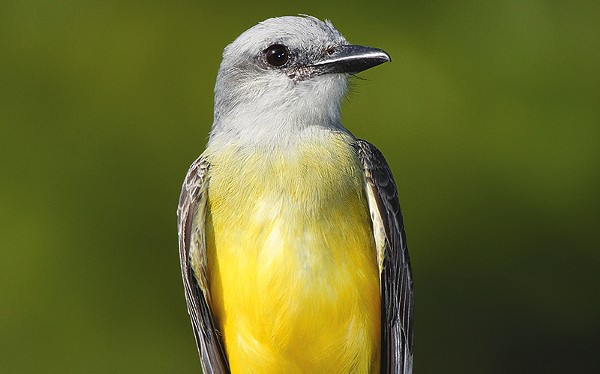 The tropical kingbird is now more common in the Rio Grande Valley.