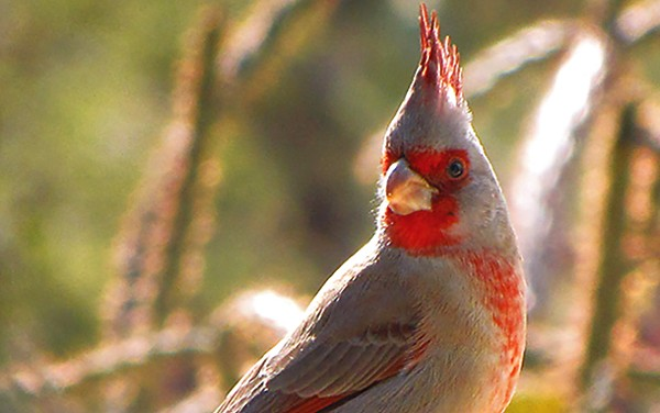 The pyrrhuloxia looks like a cardinal, but it lives primarily south of Midland.