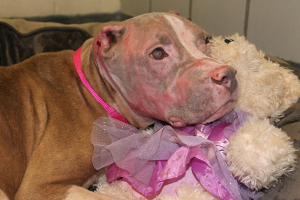 Rosie the pit bull is on her way to recovering from her injuries. - ANIMAL CARE SERVICES