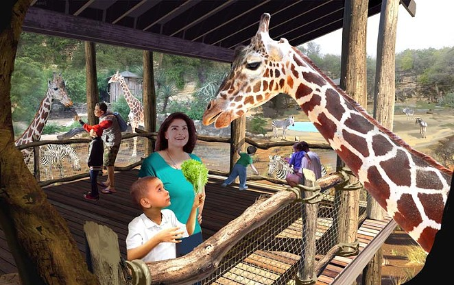 Giraffes will debut at the San Antonio Zoo's Africa Live exhibit this week. - COURTESY