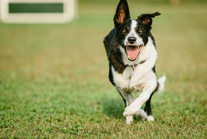 This dog is in need of a running buddy. - ANA FUENTES (FLICKR CREATIVE COMMONS)