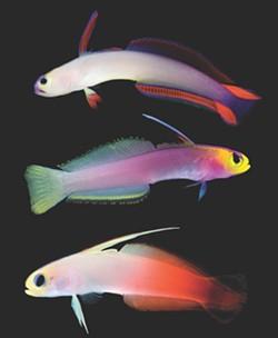 Three varieties of firefish