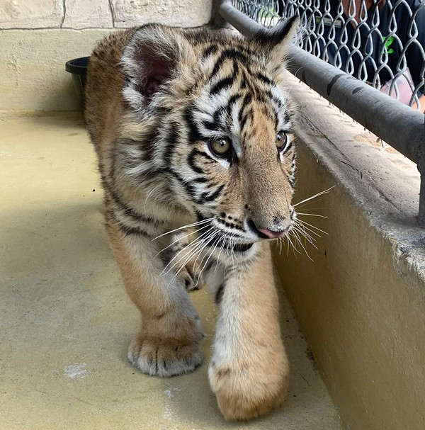 The zoo is providing a temporary home for a tiger cub snd bobcat confiscated by BCSO. - COURTESY OF SAN ANTONIO ZOO