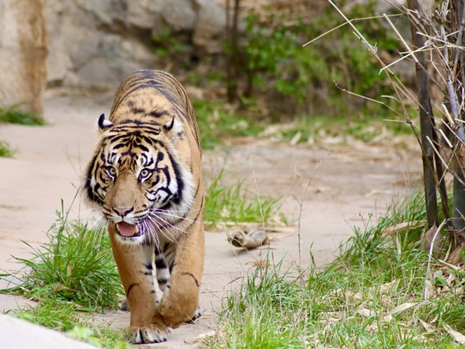 Jeda, a male tiger, is a new resident at the San Antonio Zoo. - COURTESY OF SAN ANTONIO ZOO