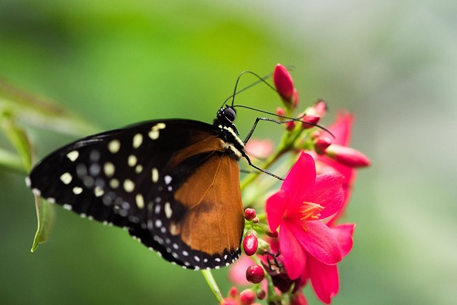 The zoo's weekend event will celebrate the monarch butterfly. - COURTESY OF SAN ANTONIO ZOO