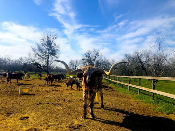A herd of longhorns lives on the Land Heritage Institute property, which the Medina River Greenway passes through. - BILL BAIRD