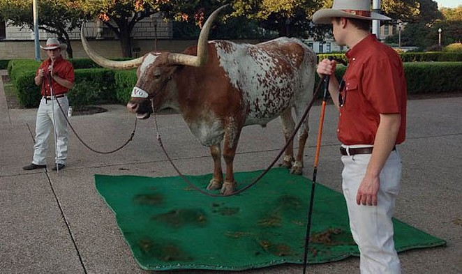"""Bevo engages in a sloppy protest against """"The Eyes of Texas"""" as the Silver Spurs look on. - WIKIPEDIA COMMONS / GUÐSÞEGN (PHOTO MANIPULATON BY NINA RANGEL)"""