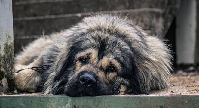 Texas Senate Bill 474 largely establishes basic standards of shelter and care for dogs restrained outdoors. - UNSPLASH / KRISTIJAN ARSOV