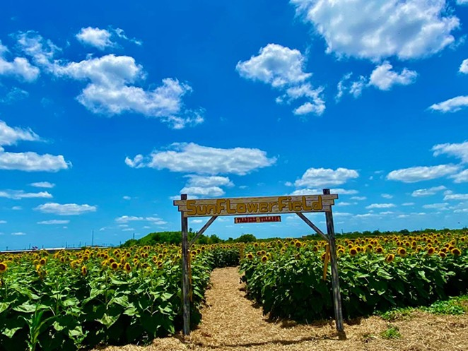 Traders Village's 10-acre sunflower maze is open to the public every weekend in June. - FACEBOOK / TRADERS VILLAGE SAN ANTONIO
