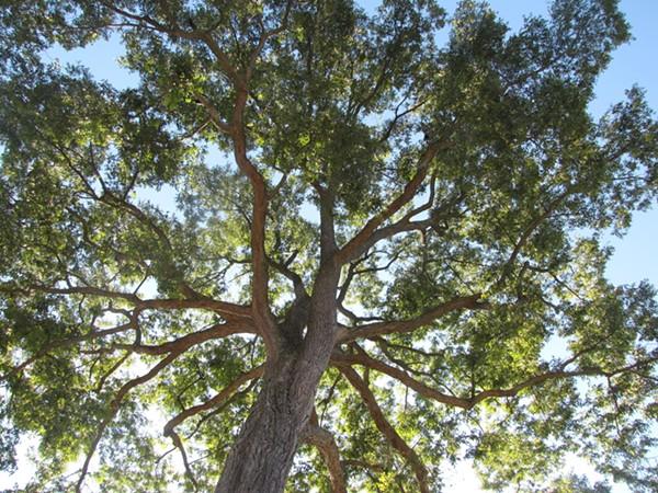 A Pecan tree, the enemy - SHUTTERSTOCK.COM