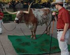 The Mendoza Line: UT mascot Bevo stages fecal protest against 'The Eyes of Texas'