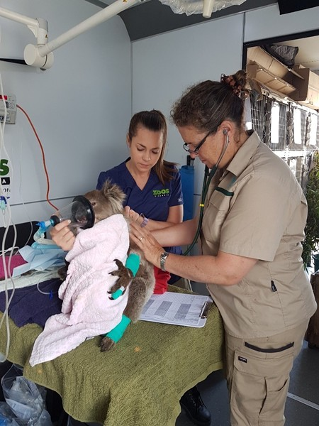 Zoos Victoria staff aid an injured koala - TWITTER / ZOOSVICTORIA