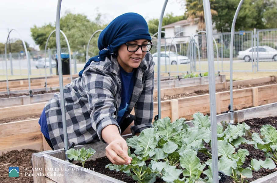The Palo Alto College Community Garden has been thriving, yielding crops that have been donated to the SA Food Bank. - INSTAGRAM / PALOALTOCOLLEGE
