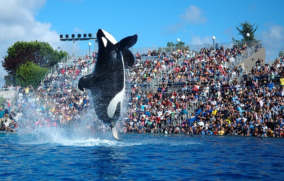 SeaWorld San Diego is replacing its live orca show with another show involving orcas. - WIKIMEDIA COMMONS