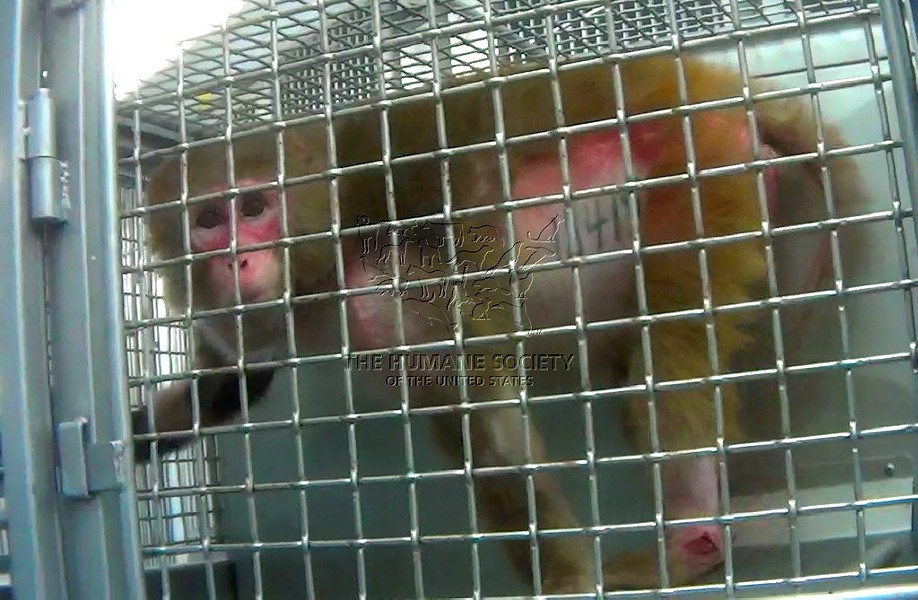 According to a 2014 HSUS investigation, some monkeys at the Southwest National Primate Research Center plucked their hair due to stress. - COURTESY HUMANE SOCIETY OF THE UNITED STATES