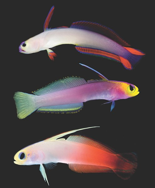 Three varieties of firefish