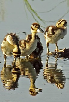 Black-bellied Whistling ducklings spotted in Bentsen-Rio Grande Valley State Park, which would be bisected by President Trump's proposed border wall.