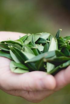 San Antonio Chef Launches Kickstarter for Olive Leaf Tea (2)