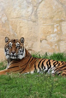 Tiger at San Antonio Zoo Dies After Undergoing Routine Physical