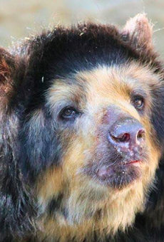 San Antonio Zoo Puts Down 28-Year-Old Spectacled Bear (2)