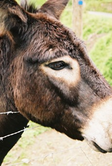 School Board Member in South Texas Town of Floresville Accused of Donkey Theft