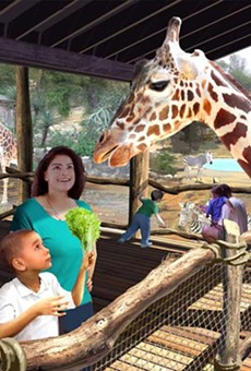 Giraffes will debut at the San Antonio Zoo's Africa Live exhibit this week.