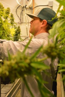 A worker at Texas Original Compassionate Cultivation harvests buds from marijuana plants.