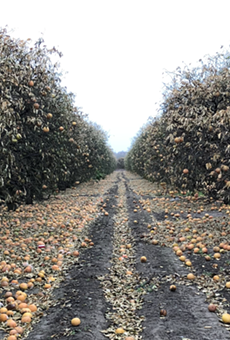 Millions in dollars' worth of grapefruit litter grove floors following last month's cold snap.