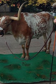 "Bevo engages in a sloppy protest against ""The Eyes of Texas"" as the Silver Spurs look on."
