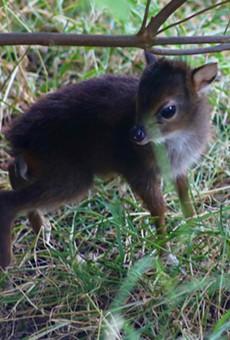 A Blue Duiker — an adorable tiny antelope — has been born at the San Antonio Zoo