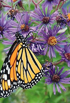 The Monarch Butterfly and Pollinator festival seeks to raise awareness about the importance of local pollinators.