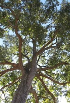 A Pecan tree, the enemy