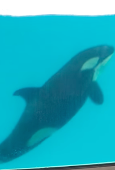 SeaWorld's Last Orca Calf Dies in San Antonio