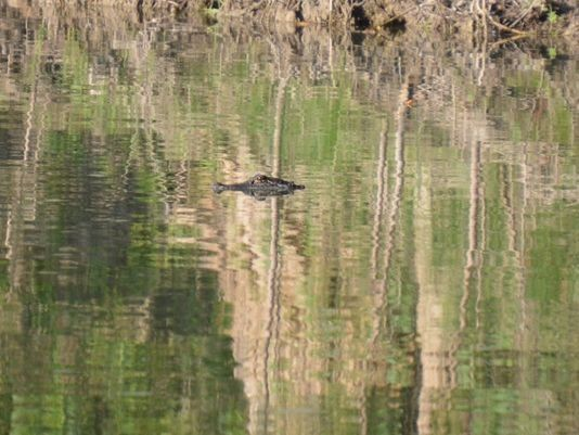 A Comal County resident photographed an alligator in the Guadalupe River this weekend. - CAREY MUELLER
