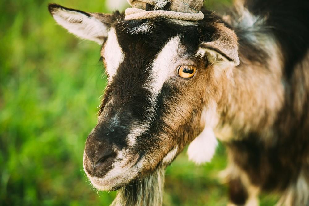 peta claims medics at fort sam houston are shooting stabbing goats