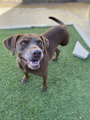Labrador Retreiver mix Melina is one of the dogs available for adoption. - COURTESY / SAN ANTONIO HUMANE SOCIETY