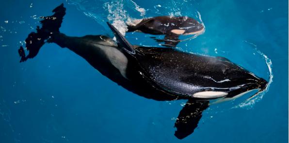 Takara and new calf - SEAWORLD SAN ANTONIO WEBSITE