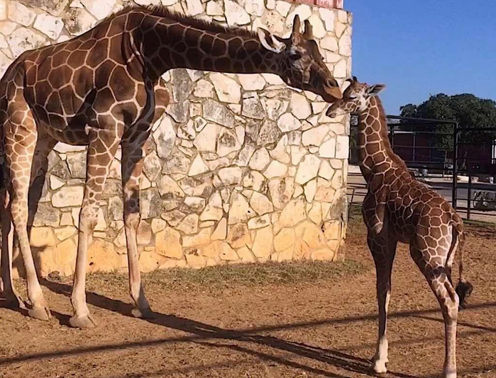 Say Hello To This Super Cute Baby Giraffe At Natural Bridge Wildlife